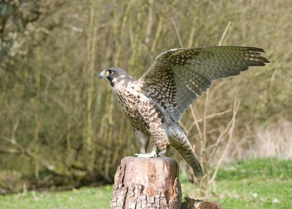 Falcon by StevesPics