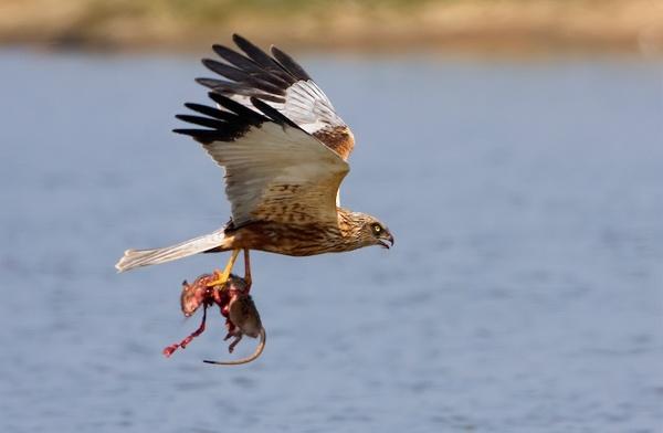Marsh Harrier with Rat by nigelpye