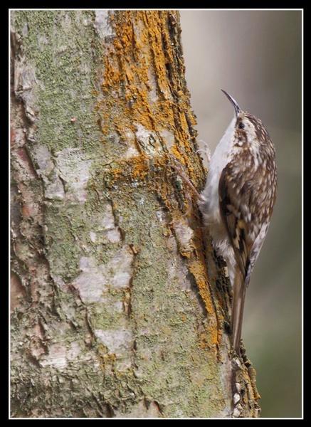 Treecreeper by jaymark1