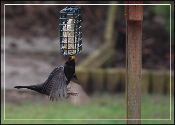 Blackbird on feeder by peel3081