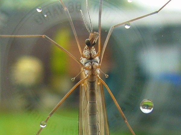 Tipulidae Oleracea by Kevhan