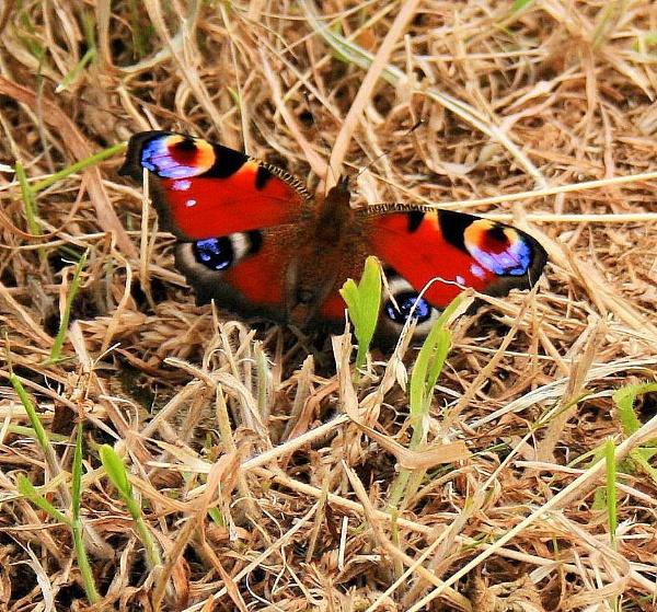 Peacock Butterfly by Kevhan