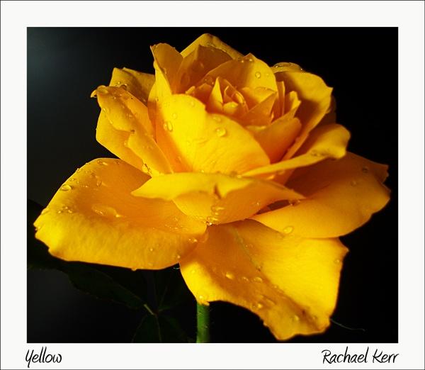 yellow by rachaelk