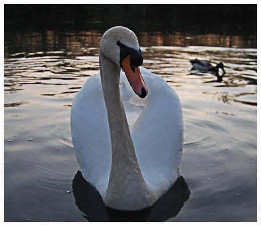 Swan by Hay1ey
