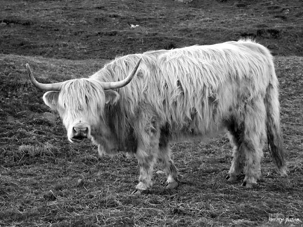highland coo by jimmypaton