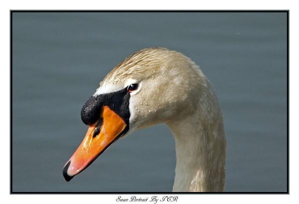 Swan Portrait by iancam