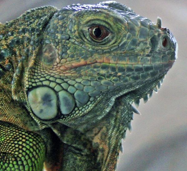 Iguana by fionaprice789
