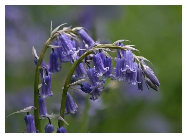 bluebells by MacroRebel