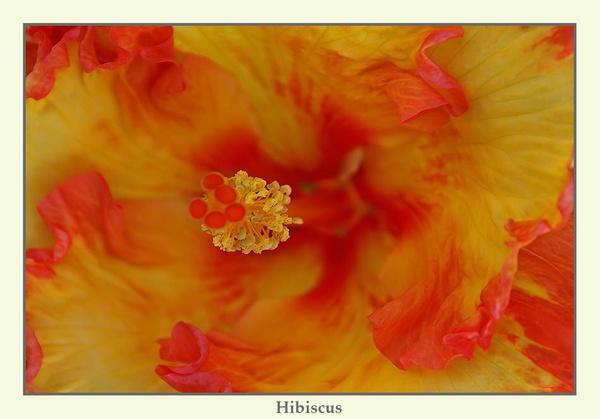 Hibiscus by Joeblowfromoz