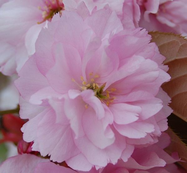 Blossom by Rachel99