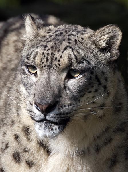 Snow Leopard by baclark