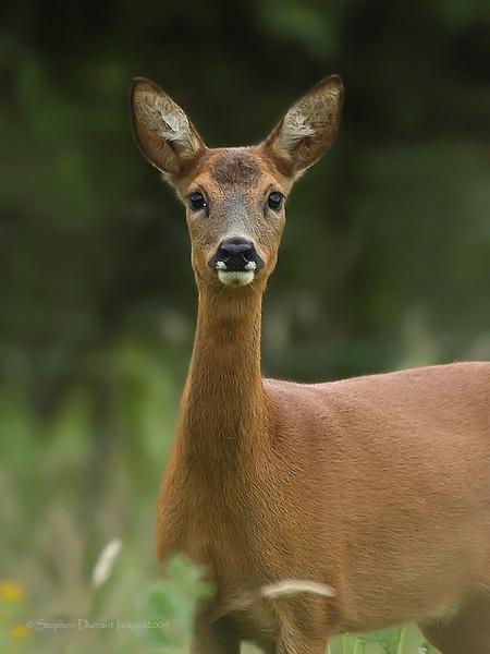 Roe Deer by StephenDurrant