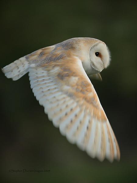 Owl in flight by StephenDurrant