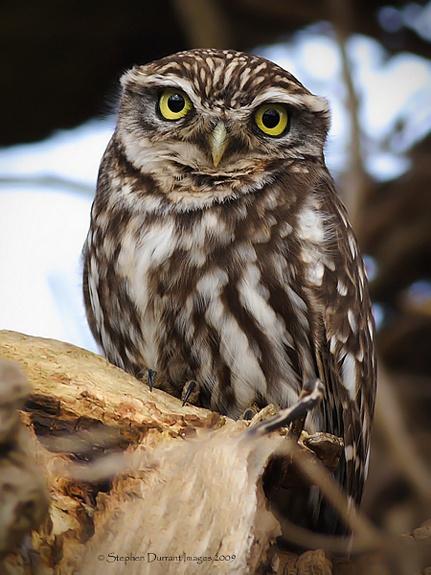 Little Owl by StephenDurrant