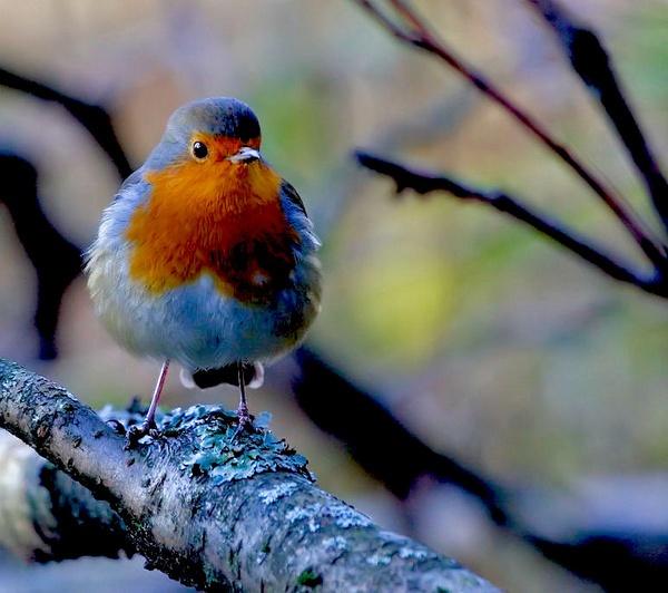 "\""Robin\"" by Raymondo701"