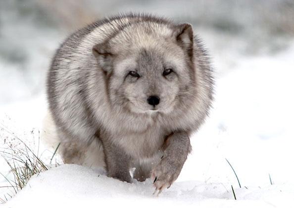 Arctic Fox by freespiritscotland
