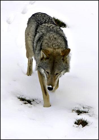 The wolf by freespiritscotland