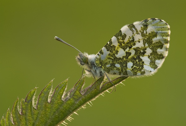 Orange Tip on Nettle II by fishiee