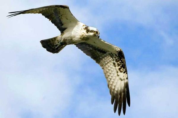 Osprey by a15trv