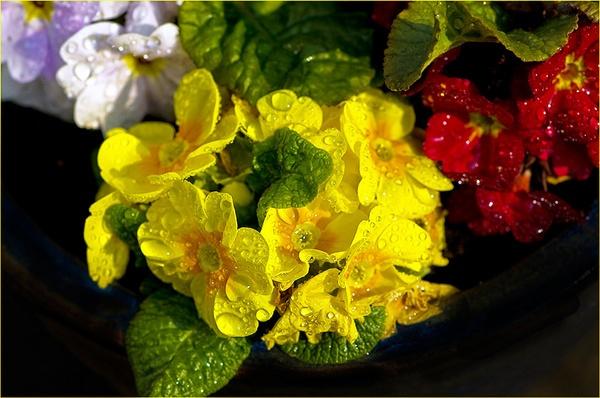 Primula by hwilkinson