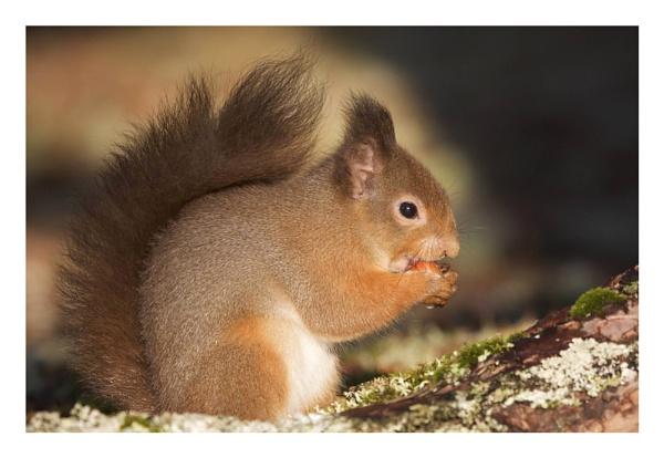 Red squirrel by KathrynGirvan