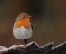 Frosty Morning Robin