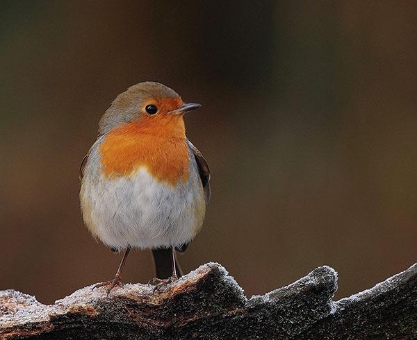 Frosty Morning Robin by KBan