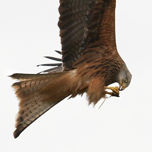 Feeding on the wing by KarlC