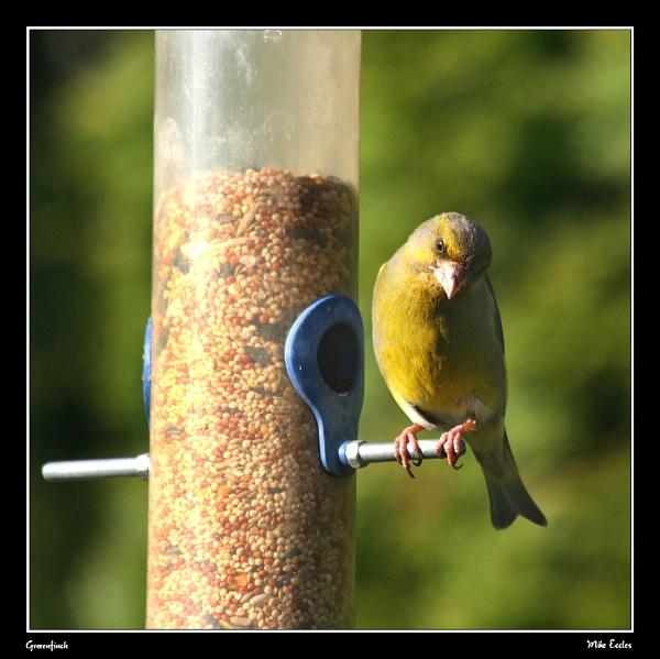 Greenfinch by oldgreyheron