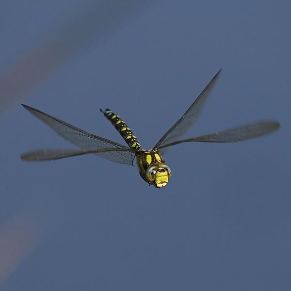 Southern Hawker (Aeshna cyanea ) by lawbert