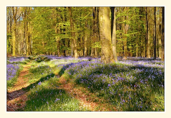 Bluebell Wood by BobA