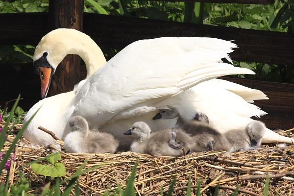 Swan & cygnets by Martin_R