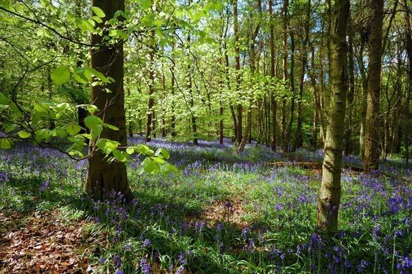 Hitchwood Bluebells by BillM
