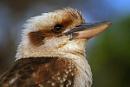 My Beautiful Kookaburra