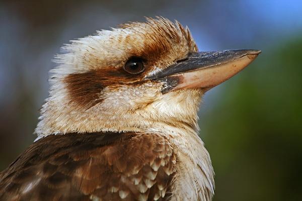 My Beautiful Kookaburra by amato