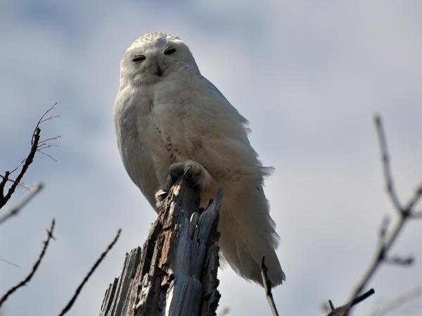 Snowy Owl by susanann
