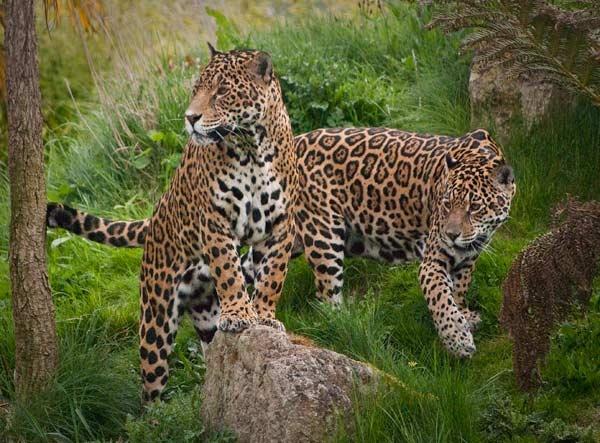 Jaguars by jeni
