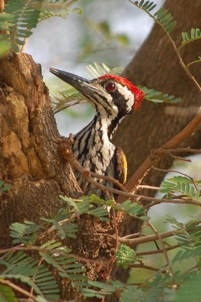 A Goldenback Woodpecker by konu