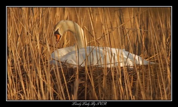 Mrs Swan by iancam