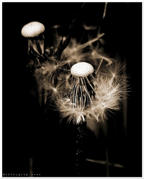 Dandelion by monkeygrip