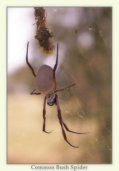 Common Bush Spider by Joeblowfromoz