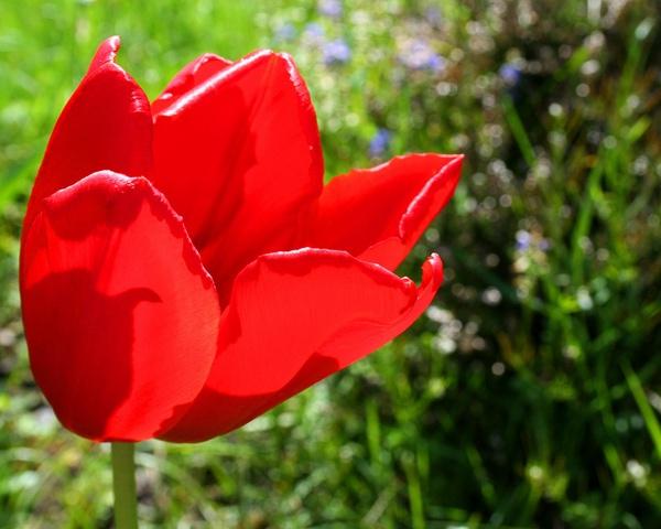 tulip by gary1