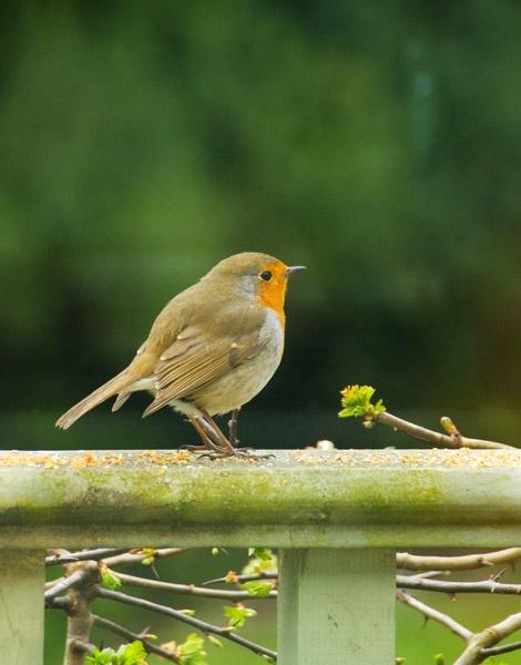 Robin by Diane_McCudden