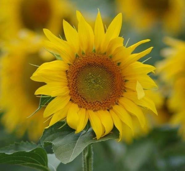 Sunflower by wennyb