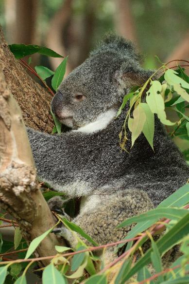 Koala Nap by LPatter