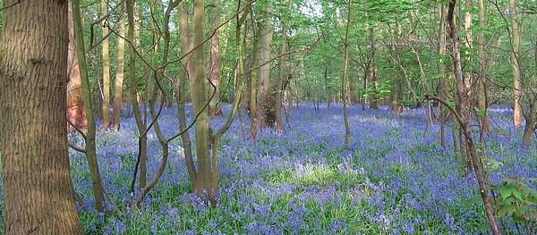 Yet more bluebells by Rachel99