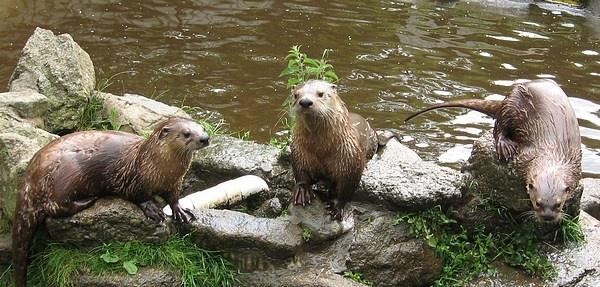 Otters by Rachel99