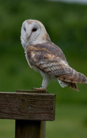 owl by mikaela4