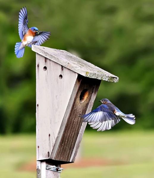 Bluebirds by poppy59