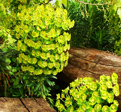 Euphorbias and sleepers by HelenHiggs